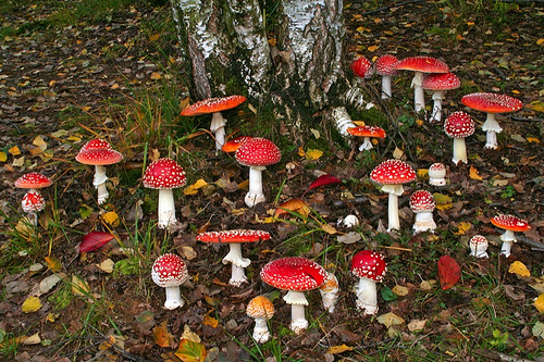"Amanita Muscaria ""gifts"" under a pine tree (Christmas tree)"